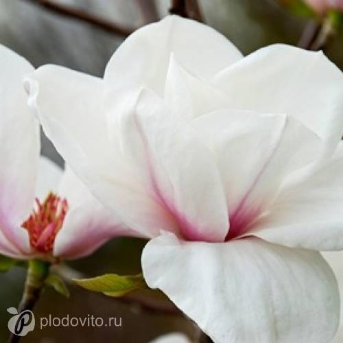 Магнолия 'Angelica' (M.cylindrica х M.'Sawada's Pink')